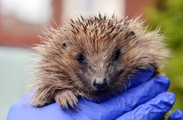 Mansfield wildlife centre - a family of hedgehogs rescued - plus Tawny owls. Cheryl Martin with an Hedgehog.