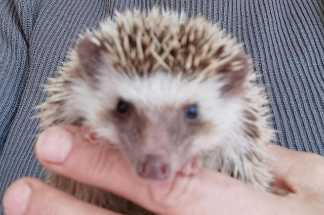 The African pygmy hedgehog found dumped in Mansfield.
