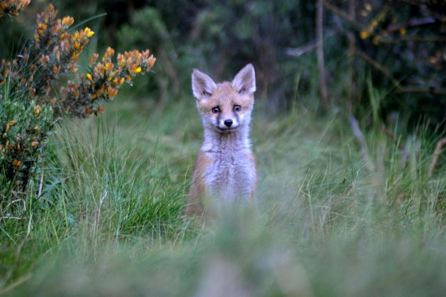 Dave Smith captured this incredible close-up of a curious fox cub popping its head up in the long grass.