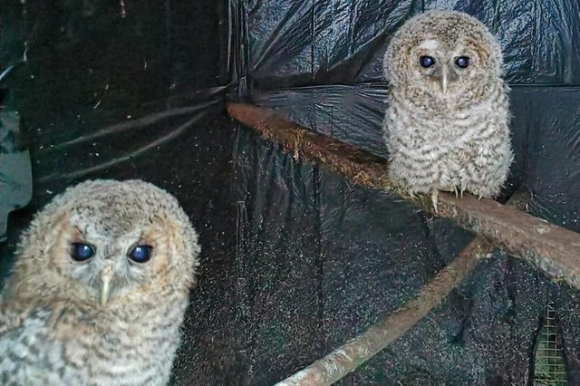 Some recent rescues - two owls at Mansfield Wildlife Rescue