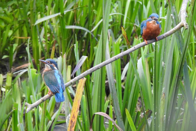 A stunning close-up of a pair of kingfishers sitting on a small branch over the River Erewash, captured by Ivan Dunstan.