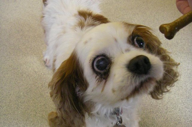 Milly the Kings Charles Spaniel had to be put to sleep to relieve her suffering