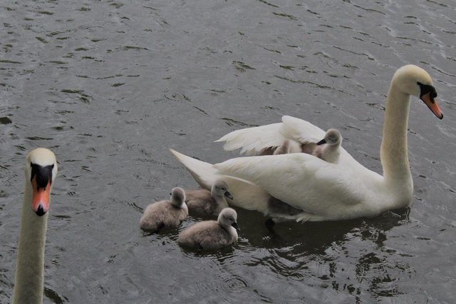 The cygnets have been saved by the handiwork of Warsop joiner Tony Hubbard. Photo: Phoebe Cox.